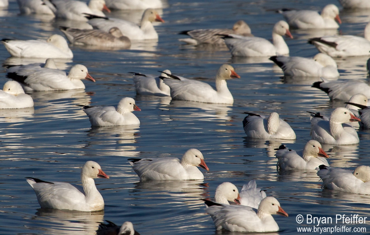 rosss-snow-geese-lake-champlain-2013